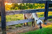 Shetland pony is reaching outside the fence for greener grass