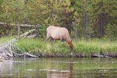 Large Elk Cow Feeding Near River