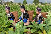 stock photo of hmong  - Hmong of Asia harvest tobacco - JPG