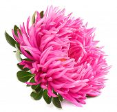 image of chrysanthemum  - beautiful chrysanthemum flower - JPG