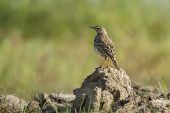 Paddyfield Pipit In Nepal