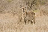 wild waterbuck standing in golden grass, at Kruger National Park, South Africa