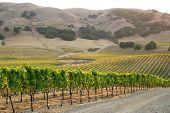 Vineyard of California