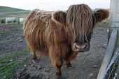 image of highland-cattle  - A Huge Long-Haired Brown Highland Cow Scotland.