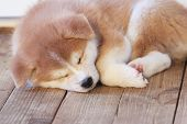 Japanese Akita-inu Breed Sleeping Puppy