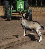 Black-and-white Goat
