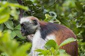 Endangered Zanzibar Red Colobus Monkey (procolobus Kirkii), Jozani Forest, Zanzibar