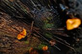 image of spiderwebs  - Spiderweb covered in water drops in between orange mushrooms near the forest floor in Bolivia - JPG