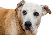 Old Dog With Expressive Face On White Background