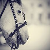 picture of harness  - Muzzle of a white horse in a harness. Stallion. Portrait of a horse. Thoroughbred horse. Beautiful horse.