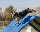 image of corgi  - A Corgi going over the A Frame during an agility event - JPG