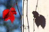 lights and shadow grape vine leaf