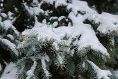 Closeup Of Fir Branches Covered With Snow