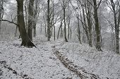 Beech Woodland In Snow