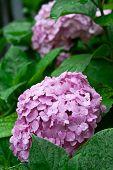 pink hortensia in the garden