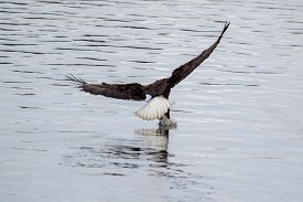picture of fish-eagle  - American Bald Eagle flying to spot some fish - JPG