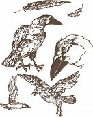 pic of raven  - graphic illustration grey ravens on white background - JPG