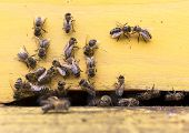 pic of honey bee hive  - Honey bees are flying in and out of an yellow hive gathering pollen for honey.