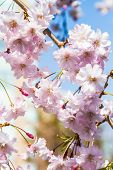 stock photo of ube  - Cherry blossoms or Sakura flowers in full bloom in spring