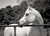 picture of arabian horse  - White Arabian horse looking left in sepia