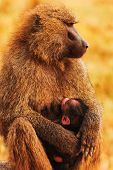 foto of sucking  - Baby baboon sucking from it - JPG