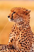 stock photo of cheetah  - Male cheetah sitting in grass and looking for its pray in Masai Mara Kenya - JPG
