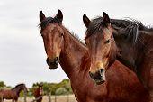 stock photo of herd horses  - A wild herd of horses with foals in the high desert  - JPG