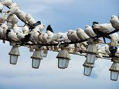 pic of pigeon  - Flock of white pigeons sit on hanging lights in Benidorm  - JPG