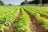 foto of potato-field  - Rows on Potato field with green bushes - JPG