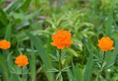 pic of may-flower  - Trollius - JPG