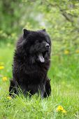 foto of chow-chow  - black chow chow breed dog outdoors in summer - JPG
