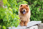 image of chow-chow  - red chow chow dog outdoors in summer - JPG