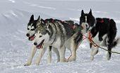 3 Huskies