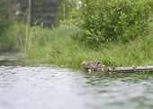 foto of clutch  - Duck with her clutch on a raft in the pond in summer starting to swim - JPG
