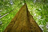 pic of rainforest  - Low angle view of a tree in amazon rainforest, Yasuni National Park, Orellana, Ecuador