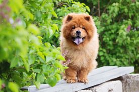 stock photo of chow-chow  - red chow chow dog outdoors in summer - JPG