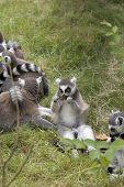 Feeding Lemur