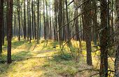 Sunny pine forest at Curonian Spit