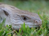 Blue Tongue Lizard 6