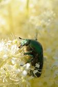 stock photo of meadowsweet  - Rose chafer  - JPG