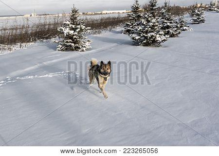 Husky dog runs