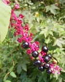 picture of pokeweed  - Some ripe pokeberries I found growing next to my house in the woods - JPG