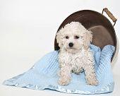 Sweet Malti-poo Puppy