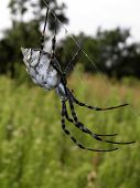 Argiope lobata spider from aside