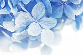 Soft blue Hydrangea (Hydrangea macrophylla) or Hortensia flower with water dew on petals. fading int poster