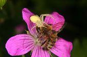 foto of goldenrod  - Goldenrod crab spider  - JPG