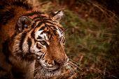 Face of Amur tiger closeup. Tiger. Siberian tiger, Amur tiger. poster
