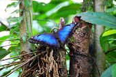 Adult Blue Morpho