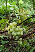 Bunch Of Green Grapes In The Garden After Rain. poster