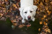 Portrait Of Young Cute Labrador Retriever Dog Puppy With Big Brown Eyes During Autumn With Colored L poster